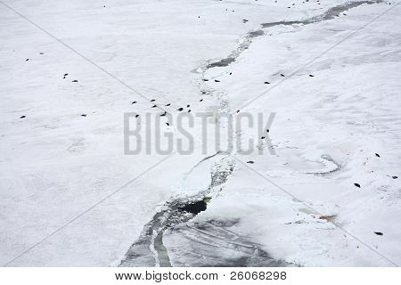 Aerial view on ice-floe with harp seals