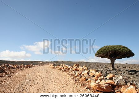The road near the Dragon tree - endemic tree from Soqotra, Yemen