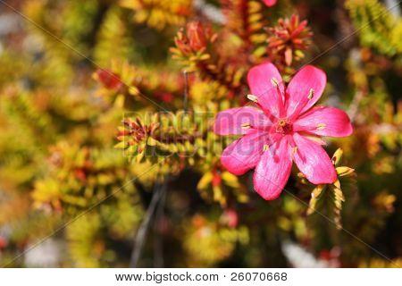 Bejaria imthurnii (Ericaceae) nas rochas do Monte Roraima na Venezuela