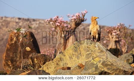 Socotra osprey (Egyptian vulture) on the rock with desert rose background