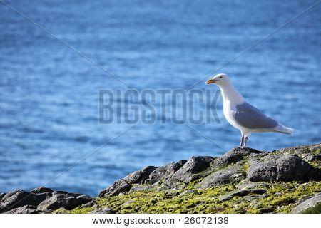 Glaucous Gull (Larus hyperboreus) on a background of the blue sea, Russian Arctic, Franz Josef Land