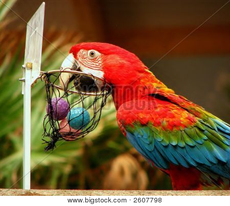 Parrot Playing Basketball