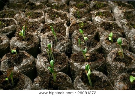 Seedlings sprouting from peat pots.