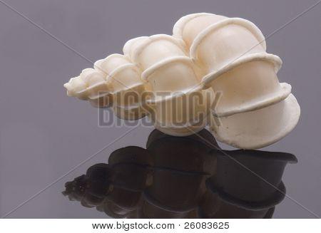 Rare sea shell