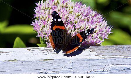 Red Admiral Butterfly - Vanessa atalanta Feeding