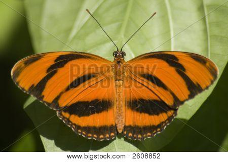 Dryadula Butterfly