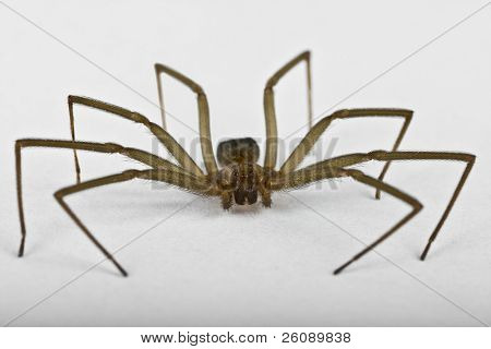 Macro shot of a brown recluse spider on white