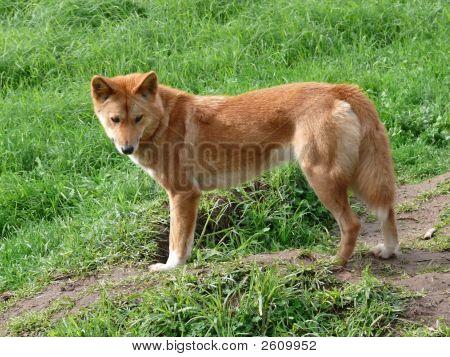 Oro Dingo
