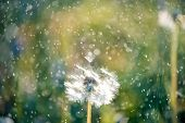 White Fluffy Dandelions, Natural Green Blurred Spring Background poster