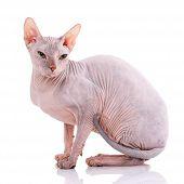 Closeup Portrait Of Grumpy Sphynx Cat On White poster