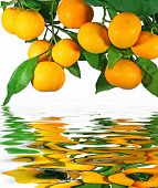 image of tangerine-tree  - Tangerines on a tree with reflection in water - JPG