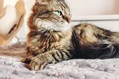 Beautiful Tabby Cat Lying On Bed And Seriously Looking With Green Eyes In Sunny Light. Fluffy Maine poster