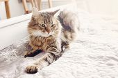 Beautiful Tabby Cat Lying On Bed And Seriously Looking With Green Eyes. Fluffy Maine Coon With Funny poster