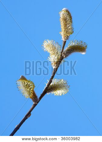 Willow Branch