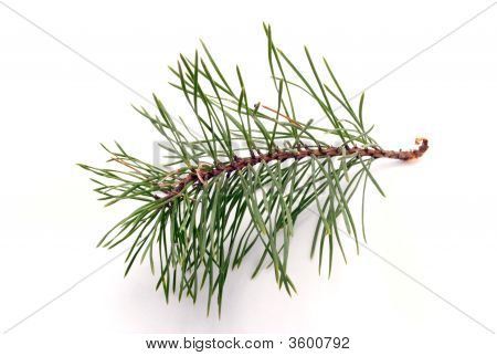 Branch Of Pine