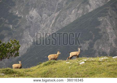 three chamois