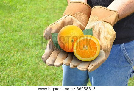 Farmer Growing Fruit Oranges