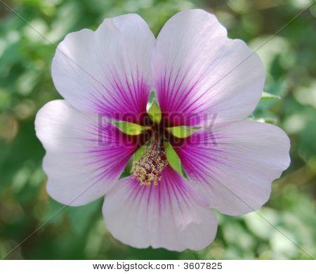 Hibiscus C