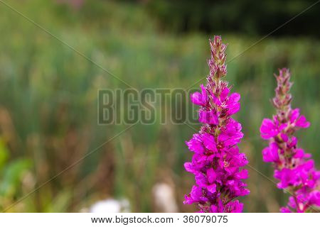 Tall Pink Lythrum Plantsgrowing Near A River