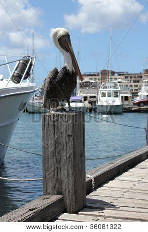 Pelican At Orangestad Harbour, Aruba, Caribbean