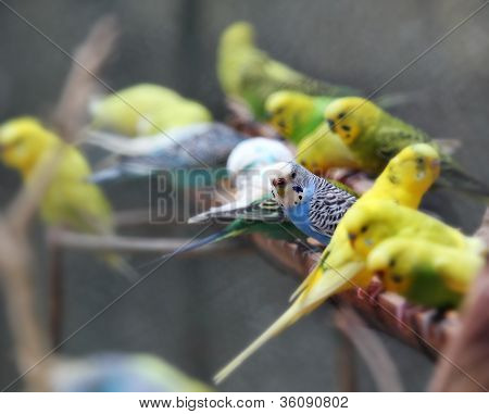 Pretty, Playful And Colorful Lovebirds (agapornis-fischeri) Perched On A Wooden Log And Feeding On G