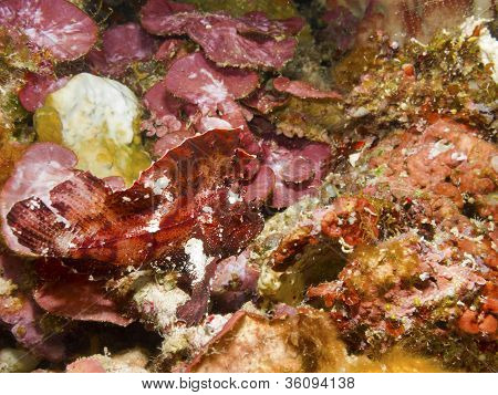 Leaf Scorpion Fish.