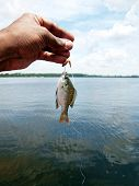 stock photo of bluegill  - a tiny fish caught while fishing using worm as the bait at a Florida lake - JPG