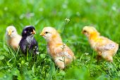 picture of baby chick  - Closeup of a group of cute baby chicks in grass - JPG