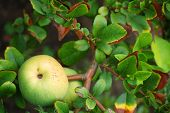 image of seed bearing  - Branches of japanese quince tree with fruits - JPG