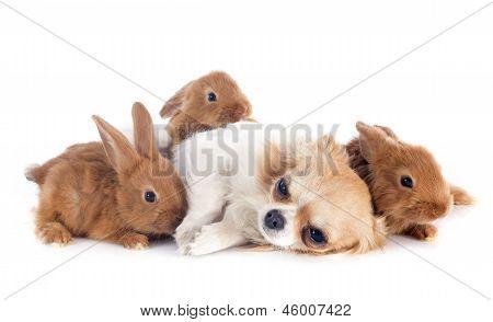 Young Rabbits And Chihuahua