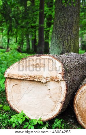 The Cut Fur-tree Logs, Close Up