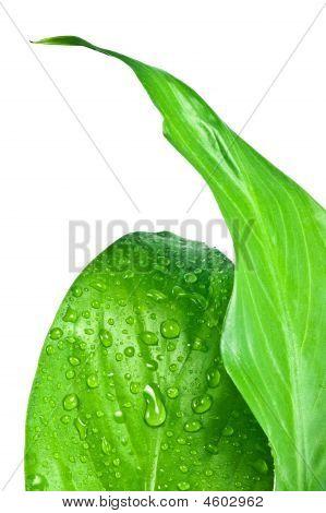 Green Leafs #3