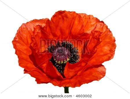 Red Poppy Blossom