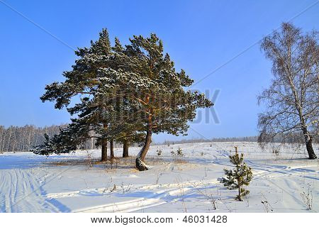 Winterlandschaft mit Schnee bedeckt Kiefern.