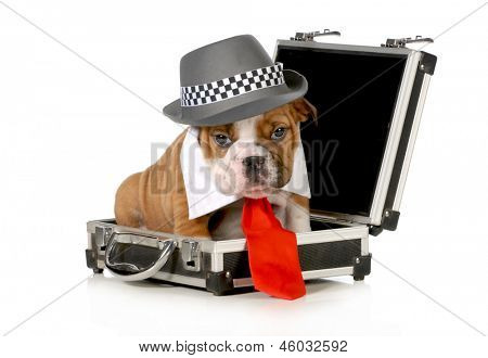 business puppy - english bulldog dressed up like a business man sitting inside briefcase isolated on white background - 7 weeks old