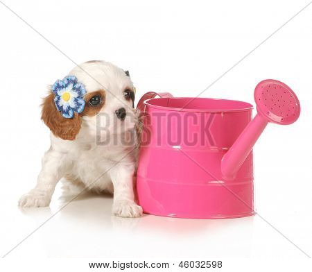 cute puppy - female cavalier king charles puppy sitting beside a pink watering can isolated on white background - 7 weeks old