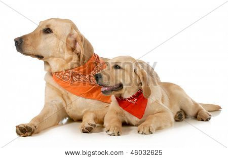 adult dog and puppy wearing bandanas laying down looking off to the side isolated on white background