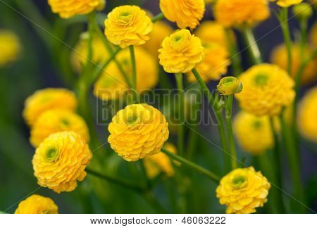 The Yellow Flowers Of Ranunculus Acris