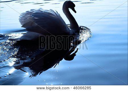 Little White Swan    Black Eye