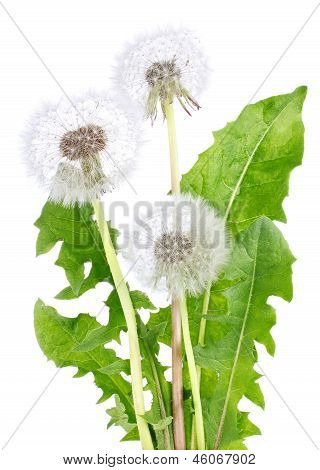 Dandelion With Green Leaves