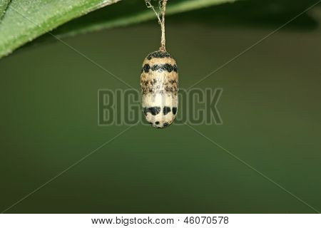 Lepidoptera Egg