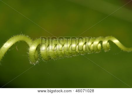 Closeup Of Green Young Tendril, Beautiful Gourd Seedlings