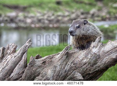 Woodchuck juvenile