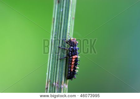 Ladybug Insect Pupa On A Plant