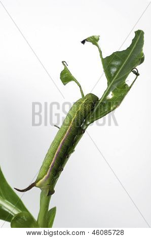 Caterpillar on a grape leaf