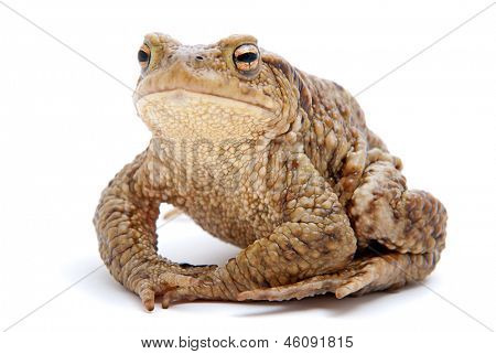 Bufo bufo. Common (European) toad on white background.