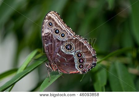 A pretty Blue morpho butterfly sitting on a blade of grass