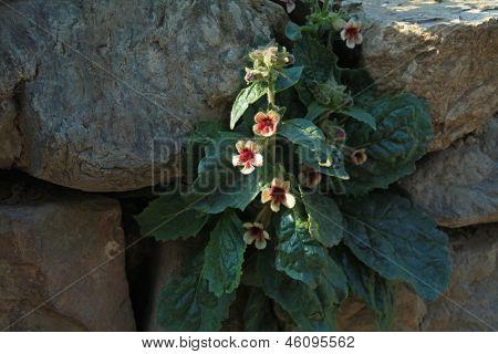 Rehmannia Glutinosa