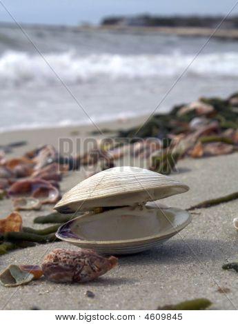 An Open Clam On The Beach