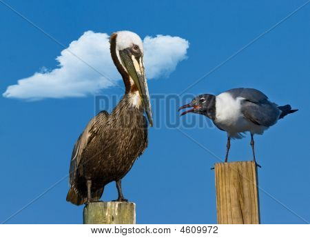 Pelican And Gull